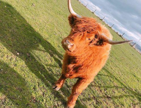 ハイランド牛